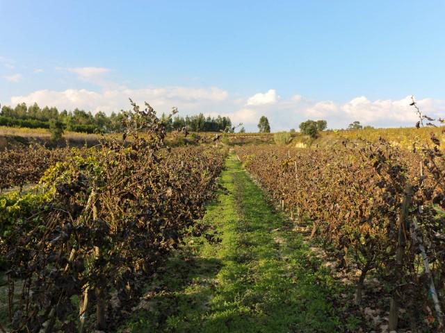 Quinta com Plantação de Vinha a Produzir e Poço, Junto de Alpiarça, Para Venda