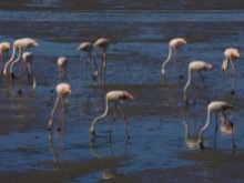 Flamingoes at the Seixal Bay%17/17