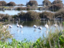 Flamants roses%12/15