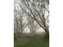 The back yard snow gums in the mist%9/19