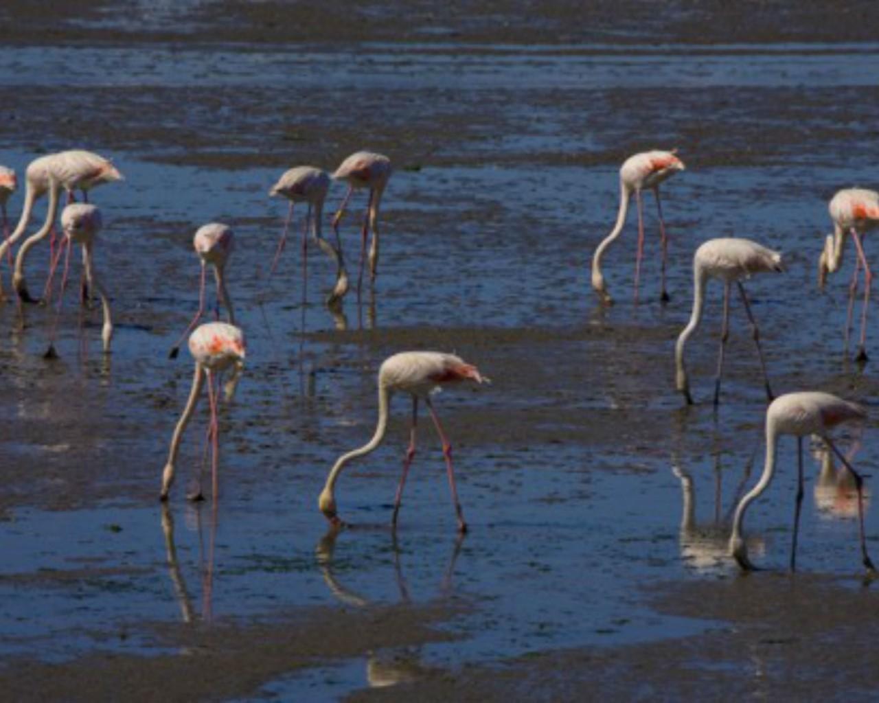 Flamingos na Baía do Seixal